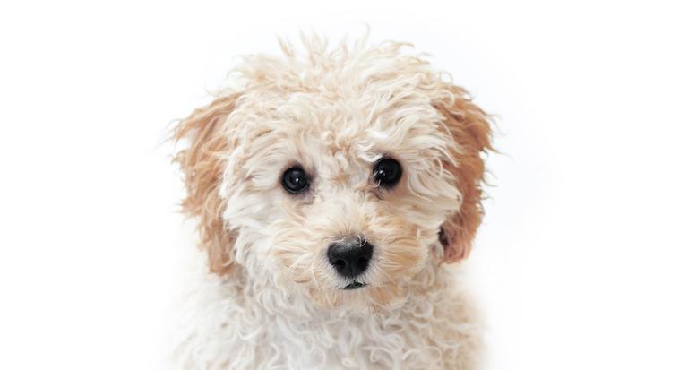 Weißer kleiner Hund