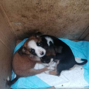 Vorschaubild: Tierschutzpolizei in Rumänien – Hilfe gegen Tierleid?